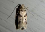 2076 - Chionodes fondella; Twirler Moth species