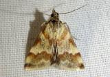 4826 - Mimoschinia rufofascialis; Rufous-banded Crambid