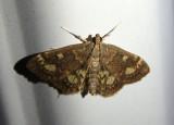 4953.1 - Anania plectilis; Crambid Snout Moth species