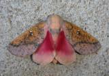 7709 - Sphingicampa bicolor; Honey Locust Moth