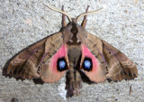 7824 - Paonia sexcaecata; Blinded Sphinx