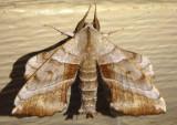 7827 - Amorpha juglandis; Walnut Sphinx