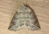 8493 - Isogona tenuis; Thin-lined Owlet