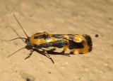 9127 - Spragueia leo; Common Spragueia