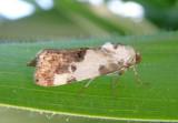 9136 - Tarache aprica; Exposed Bird Dropping Moth