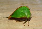 Archasia belfragei; Treehopper species