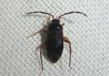 Ceratocapsus nigellus; Plant Bug species
