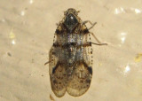 Cixius basalis; Cixiid Planthopper species