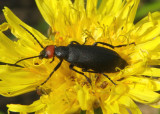 Epicauta atrata; Blister Beetle species