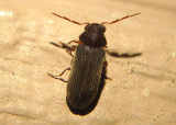 Hemicoelus carinatus; Eastern Deathwatch Beetle