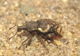 Hormorus undulatus; Lily of the Valley Weevil