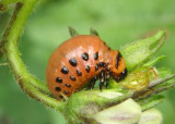 Leptinotarsa decemlineata; Colorado Potato Beetle larva