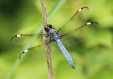Libellula cyanea; Spangled Skimmer; male