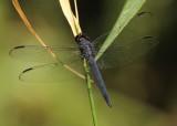 Libellula incesta; Slaty Skimmer; male