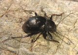 Meracantha contracta; Darkling Beetle species