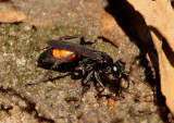 Palmodes dimidiatus; Thread-waisted Wasp species