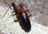 Dendroides canadensis; Fire-colored Beetle species