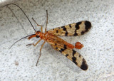 Panorpa Scorpionfly species; male