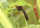Diogmites platypterus; Hanging-thief Robber Fly species