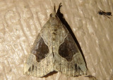 8441 - Hypena manalis; Flowing-line Hypena