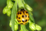 Harmonia axyridis; Asian Lady Beetle; exotic