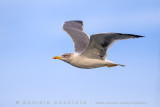 Azores Gull (Larus michahellis atlantis)