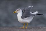 Azores Yellow-legged Gull (Gabbiano reale delle Azzorre)