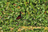 Northern Jacana - (Jacana spinosa)