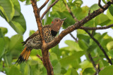 Northern Flicker - (Colaptes auratus)