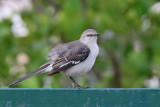 Northern Mockingbird - (Mimus polyglottos)