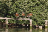 West Indian Whistling-duck - (Dendrocygna arborea)