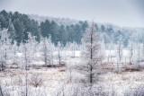 Hoar frost on Tamarack trees