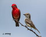 Vermilion Flycatchers
