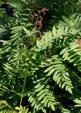 SWEDISH FERNS, Låsbräkenväxter, Ormbunkar, mm