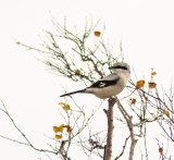 Great Grey Shrike, Varfågel, (Lanius excubitor excubitor).jpg