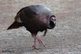 8102 Wild Turkey.jpg