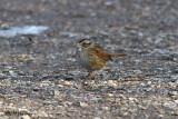 8115 Swamp Sparrow.jpg