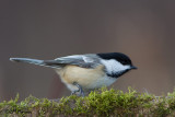 Chickadees and Titmice