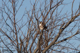 8182 Red-tailed Hawk.jpg