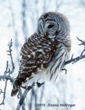 bard.owl.9162.copy.jpg