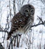 Barrred Owl