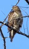 immature Redtailed Hawk