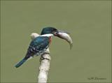 Green Kingfisher - Groene ijsvogel - Chloroceryle americana