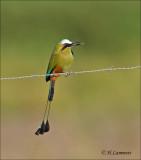 Turquoise-browed Motmot - Wenkbrauwmotmot - Eumomota superciliosa