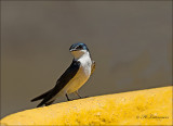 Mangrove Swallow - Mangrovezwaluw - Tachycineta albilinea