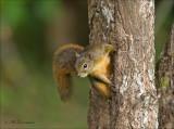 red-tailed squirrel - Roodstaartboomeekhoorn - Sciurus granatensi