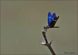 Rainforest Bluewing - Zenithoptera fasciata