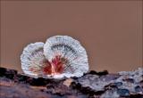 Crimped Gill - Plooivlieswaaiertje - Plicaturopsis crispa