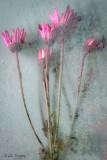 Pink_Daisies