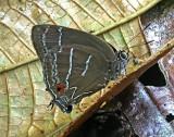 Lycaenidae Wildsumaco